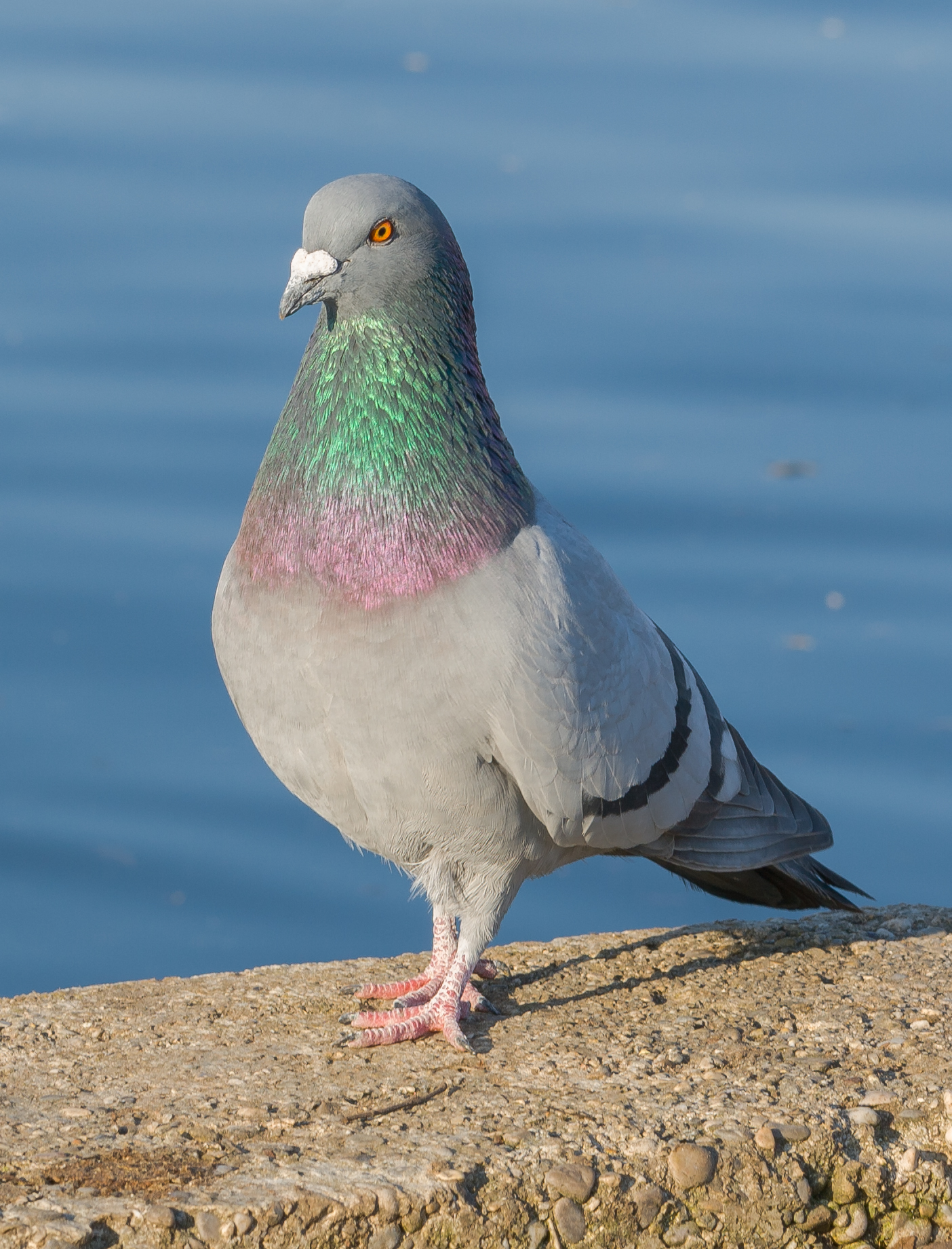Rock dove (columba livia): notice the size of the chest, accommodating large pectoral muscles. Source: Wikimedia Commons